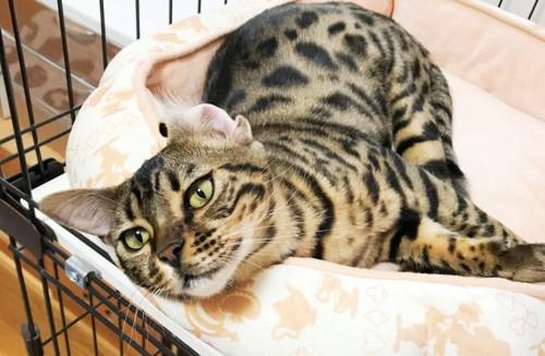 物憂げな表情のベンガル猫