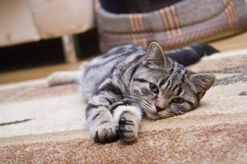カーペットに寝転がる猫