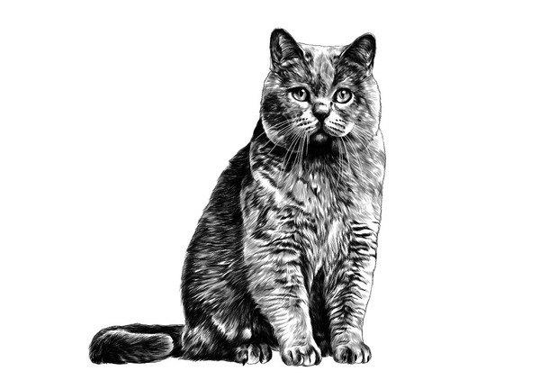 正面から見た猫のデッサン画