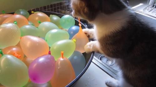 水風船をくわえる猫