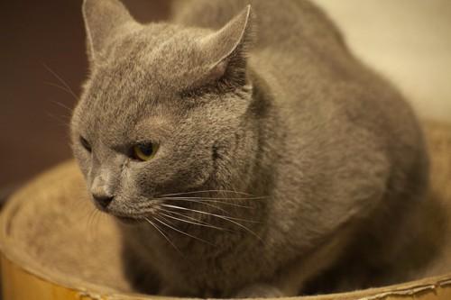 猫用ベッドに入るブルーキャット