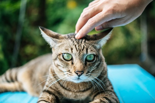 撫でられる猫