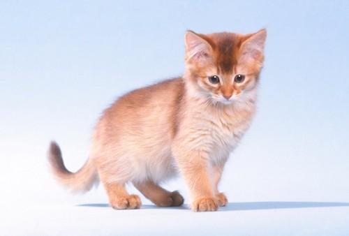 下を見つめて立っているソマリの子猫