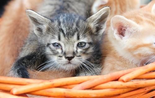 目がうるうるしている子猫