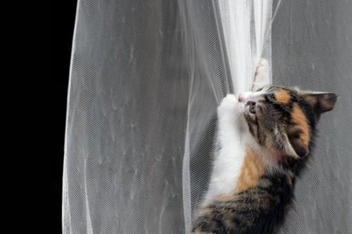 カーテンに下がる子猫