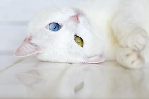 寝転がっているオッドアイの白猫