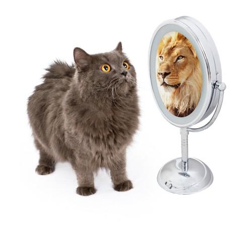 鏡に映るライオンを見るたてがみのあるグレーの長毛猫