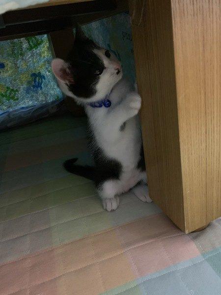 コタツの中でコタツの足に手をかけて立つ猫