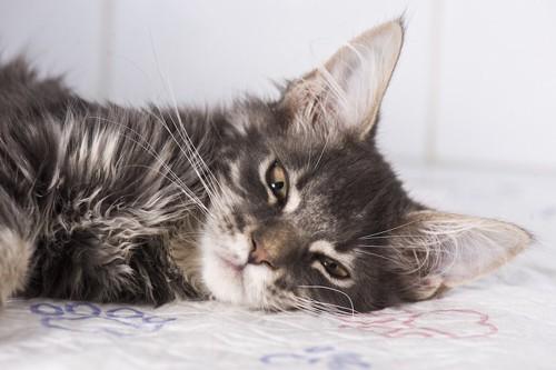 ベッドに横たわる長毛猫
