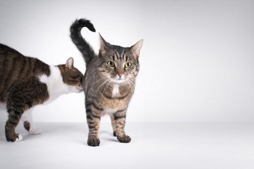 お尻の臭いを嗅ぐ猫