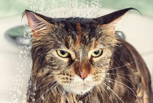 不満そうな顔でシャワーを浴びる猫