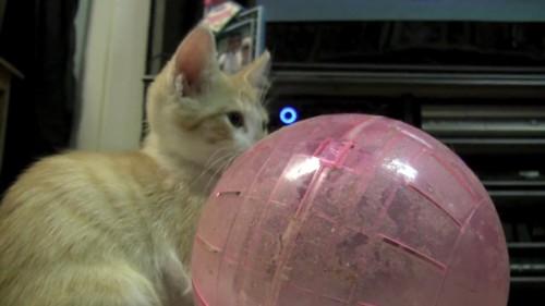 ボールを見る猫