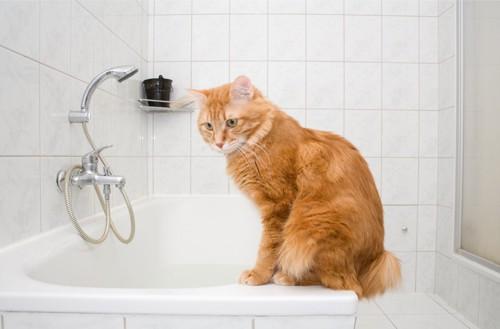 浴槽の縁に座っている猫