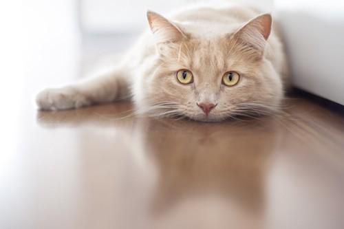 静かに首を床にくっつけている猫