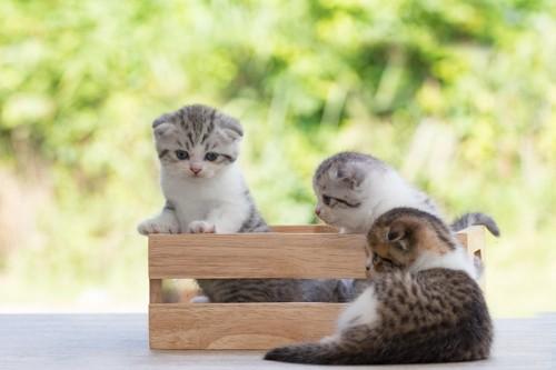 木箱に入るスコティッシュフォールドの子猫たち
