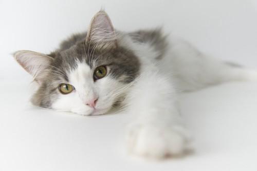 前足を伸ばす猫