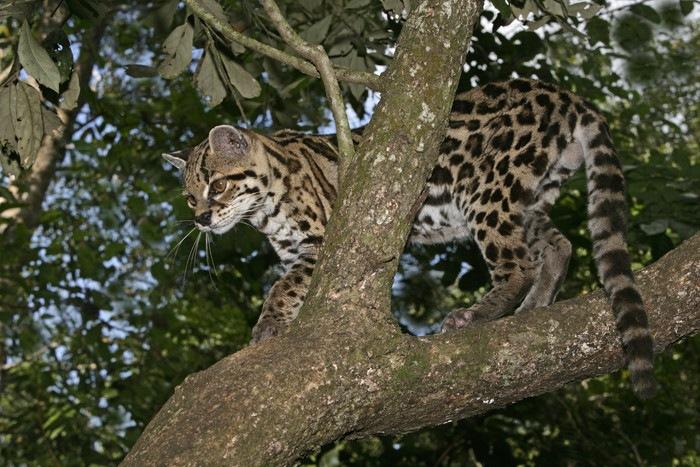 木の上に立つマーゲイ