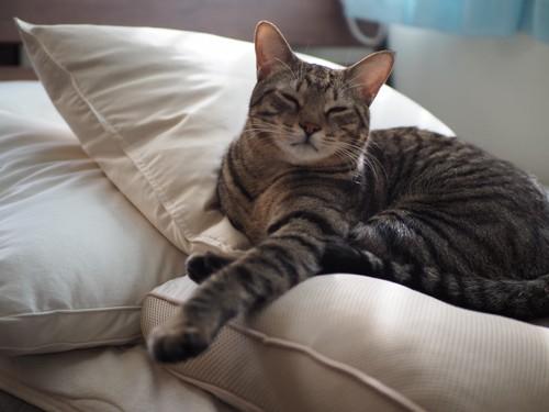 3つの枕の上で寝る猫