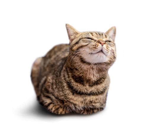 香箱座りのキジトラ