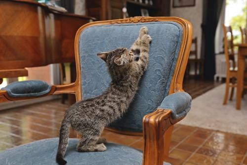 椅子の背もたれで爪研ぎをする子猫