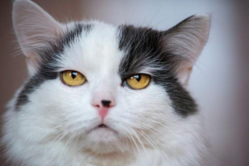 白けている猫