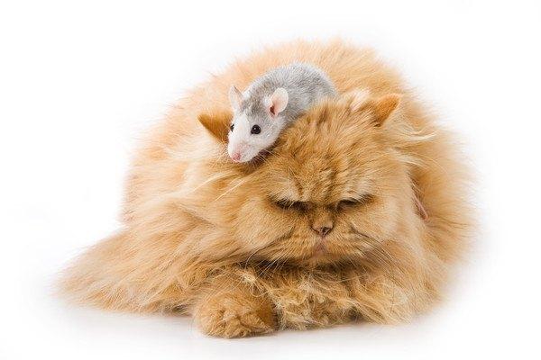茶色の猫と白とグレーのネズミ
