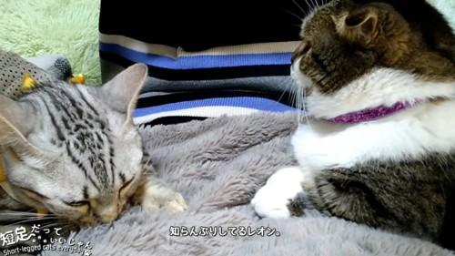 フミフミする猫の顔