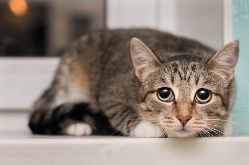 姿勢を低くして警戒している猫