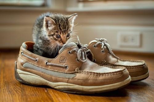 靴の中に入って匂いを嗅ぐ子猫