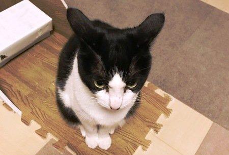 ご飯待ち中にイカ耳になる白黒猫のななふくちゃん