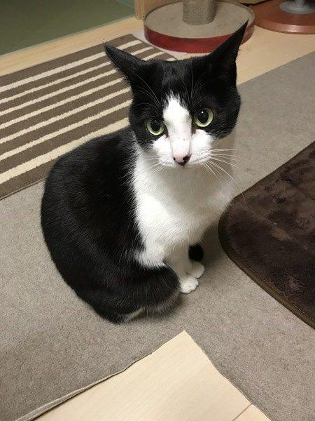お座りをして上目使いの猫
