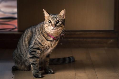 床に座るピンクの首輪をつけた夜泣きする猫