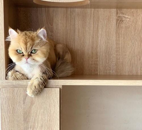 棚に乗る猫スタッフ
