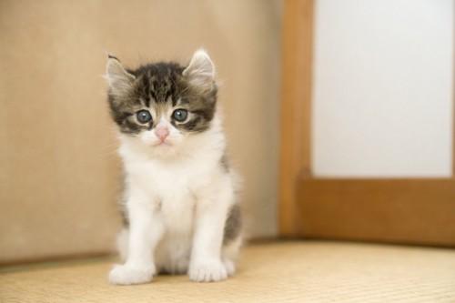 座ってじっと前を見るアメリカンカールの子猫