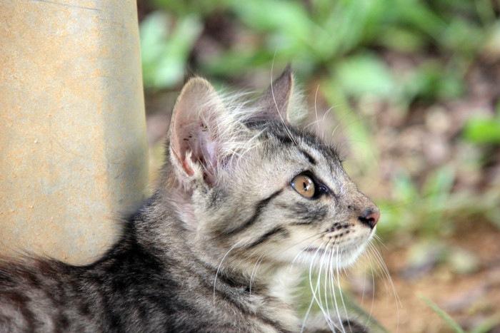 サバトラ猫の写真