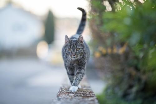 塀の上を歩く猫
