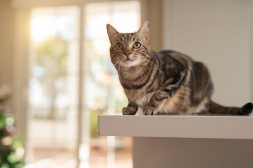 テーブルの上に乗るキジトラ猫