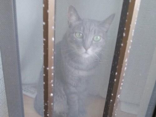 窓の外を眺める灰色猫