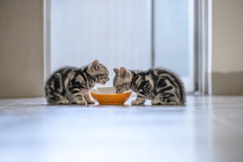 向かい合ってお皿に向かうアメショーの子猫