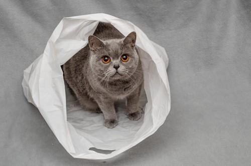 ポリ袋の中で見上げる灰色猫