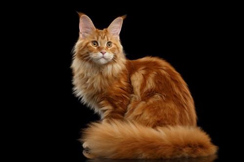 太い尻尾の猫