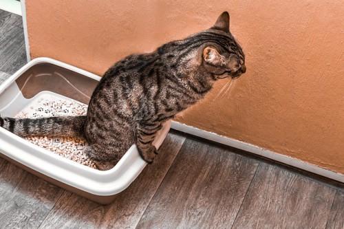 トイレでおしっこをしている猫