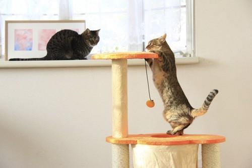 キャットタワーに登る猫と出窓からそれを見る猫