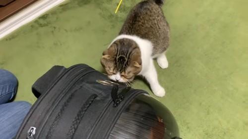 キャリーに顔を近づける猫