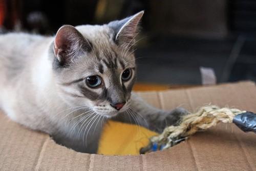 段ボールで遊ぶ猫