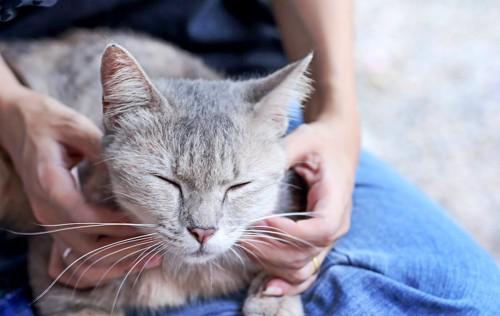 飼い主の膝の上でマッサージされて気持ちよさそうな猫