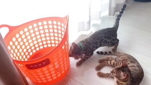 カゴに突進する子猫