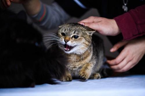 撫でられて逃げようとする猫
