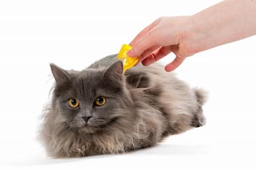 ノミ駆除のスポット薬を猫に付けているところ
