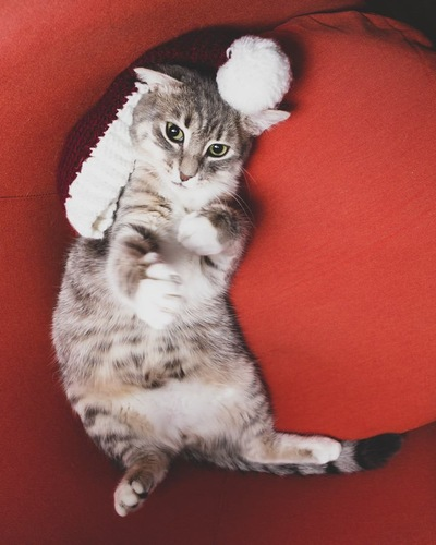 おもちゃと仰向けになる猫